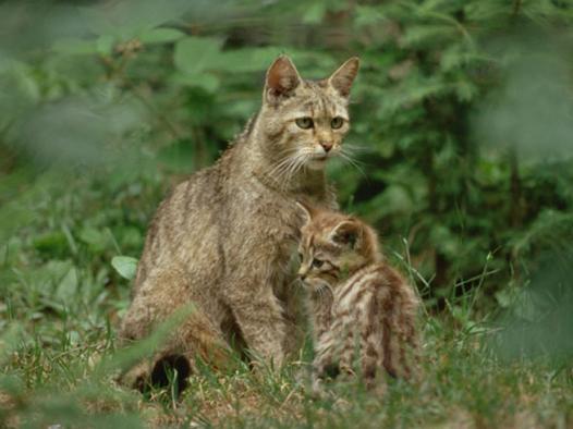 Żbiki-dzikie koty