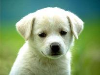 Biały szczeniak.